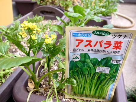 アスパラ菜1.jpg