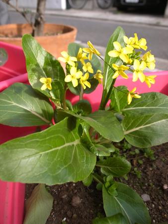 アスパラ菜と種袋1.jpg