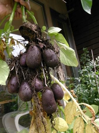 キタムラサキ収穫.jpg