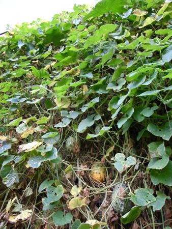 キワーノ収穫ついに。2.jpg