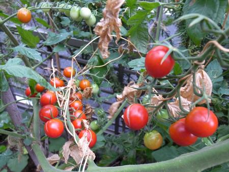 ツルムラサキとトマトの1.jpg