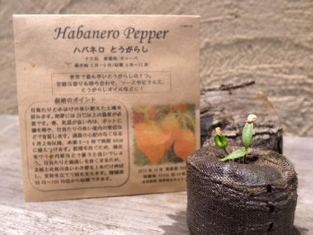 ハバネロとうがらし発芽1.jpg