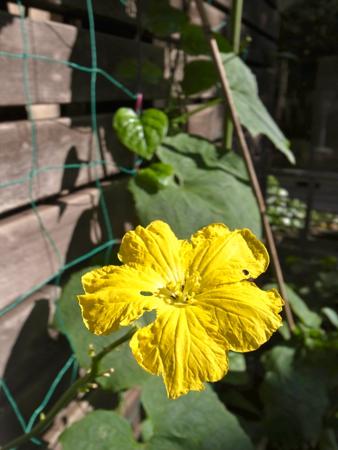 ヘチマの花11.jpg