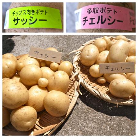 ポテト10種の成果2.jpg