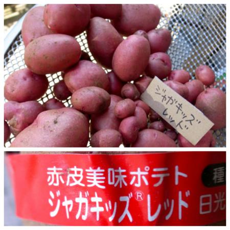 ポテト10種の成果7.jpg