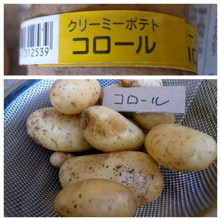 ポテト10種の成果8.jpg