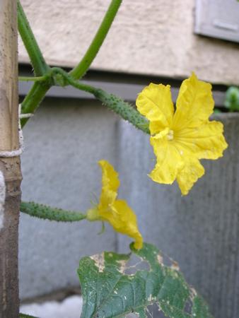 夏すずみの花.jpg