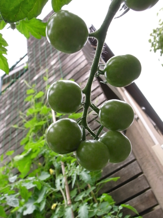 tomato-4.jpg