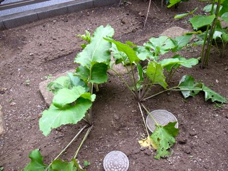 ごぼう収穫1.jpg