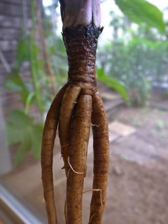 ごぼう収穫12.jpg