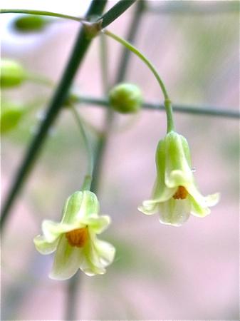 アスパラの花1.jpg