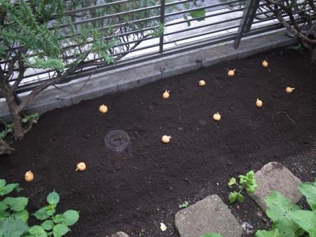 インカの種芋2.jpg