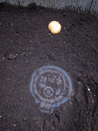 インカの種芋3.jpg